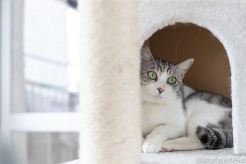 アトリエイエネコ Cat Photographer 40754935524_1cb228505a 1日1猫!保護猫カフェねこんチ 新メンバーのパックくん! 1日1猫!  猫写真 猫カフェ 猫 大阪 初心者 写真 保護猫カフェねこんチ 保護猫カフェ 保護猫 スマホ カメラ Kitten Cute cat