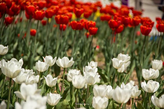 Tulip in daejeo