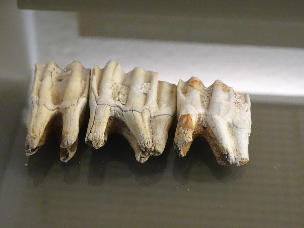 Dentadura muelas de herviboro Paleolitico Museo de Navarra Pamplona