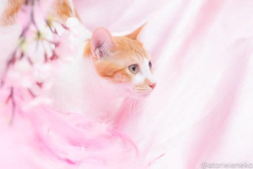 アトリエイエネコ Cat Photographer 39347724580_e491904cdd 1日1猫!高槻ねこのおうち_カフェぽぉ譲渡会_2 1日1猫!  高槻ねこのおうち 里親様募集中 譲渡会 猫写真 猫 子猫 大阪 写真 保護猫 スマホ カメラ Kitten Cute cat
