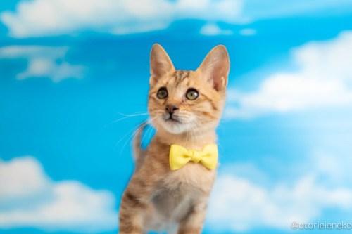 アトリエイエネコ Cat Photographer 42794829492_32de6f9994 1日1猫!おおさかねこ俱楽部 里親様募集中のグレンくん♪ 1日1猫!  里親様募集中 猫写真 猫カフェ 猫 子猫 大阪 初心者 写真 保護猫カフェ 保護猫 ニャンとぴあ スマホ キジ猫 カメラ おおさかねこ倶楽部 Kitten Cute cat