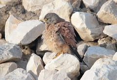 Peneireiro vulgar // Falco tinnunculus // Common krestel