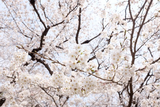 名古屋城の桜 2018/03/26 X7000421