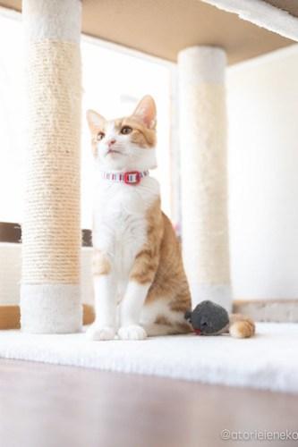 アトリエイエネコ Cat Photographer 40230553430_da5ca2e1e6 1日1猫!保護猫カフェ 森のねこ舎 (や)に行ってきた♪その1 1日1猫!  里親様募集中 猫写真 猫カフェ 猫 子猫 大阪 写真 保護猫カフェ 保護猫 スマホ カメラ Kitten Cute cat