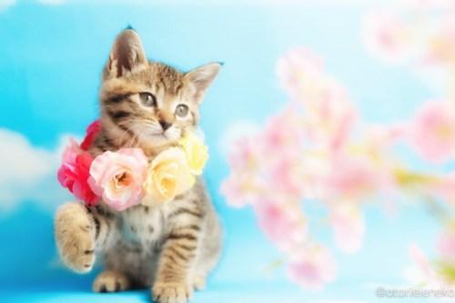 アトリエイエネコ Cat Photographer 26999605337_5973101ab7 1日1猫!ニャンとぴあキャッツ 里親様募集中のあゆちゃん♪ 1日1猫!  里親様募集中 猫写真 猫カフェ 猫 子猫 大阪 初心者 写真 保護猫カフェ 保護猫 ニャンとぴあ スマホ キジ猫 カメラ おおさかねこ倶楽部 Kitten Cute cat
