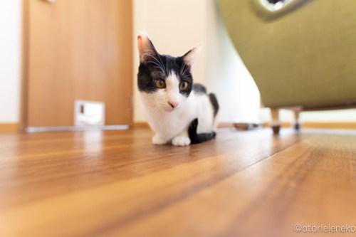 アトリエイエネコ Cat Photographer 40230557380_08750129f1 1日1猫!保護猫カフェ 森のねこ舎 (や)に行ってきた♪その2 1日1猫!  里親様募集中 猫写真 猫カフェ 猫 森のねこ舎 子猫 大阪 初心者 写真 保護猫カフェ 保護猫 カメラ Kitten Cute cat