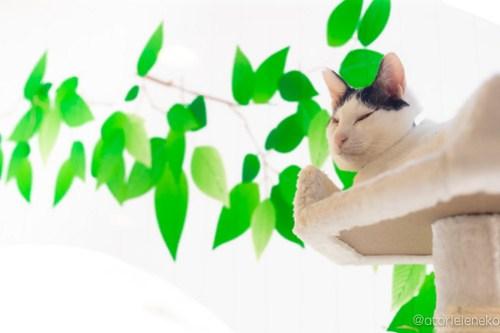 アトリエイエネコ Cat Photographer 42038212801_34b8c52699 1日1猫!保護猫カフェ 森のねこ舎 (や)に行ってきた♪その2 1日1猫!  里親様募集中 猫写真 猫カフェ 猫 森のねこ舎 子猫 大阪 初心者 写真 保護猫カフェ 保護猫 カメラ Kitten Cute cat