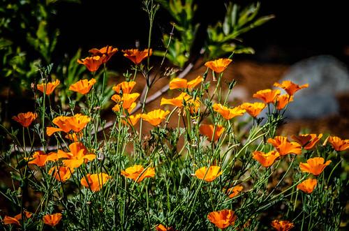 Yard California Poppies