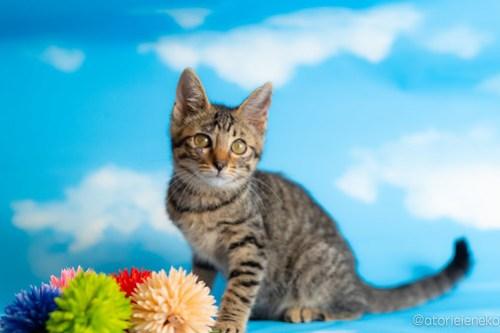 アトリエイエネコ Cat Photographer 42344383705_f1a683e1ef 1日1猫!おおさかねこ俱楽部 里親様募集中のあややちゃん♪ 1日1猫!  里親様募集中 猫写真 猫カフェ 猫 子猫 初心者 写真 保護猫カフェ 保護猫 ニャンとぴあ スマホ キジ猫 カメラ おおさかねこ倶楽部 Kitten Cute cat