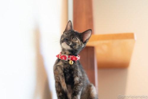 アトリエイエネコ Cat Photographer 42687194584_b7b647558b 1日1猫!CaraCatCafe天使に会いに行って来ました♪ 1日1猫!  里親様募集中 猫 子猫 大阪 初心者 写真 保護猫カフェ 保護猫 スマホ カメラ Kitten Cute cat caracatcafe