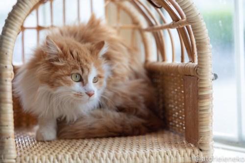 アトリエイエネコ Cat Photographer 41583765442_16df731c73 1日1猫!高槻ねこのおうち 里親樣募集中のホイップちゃん♪ 1日1猫!  高槻ねこのおうち 里親様募集中 猫写真 猫 子猫 大阪 写真 保護猫 スマホ カメラ Kitten Cute cat