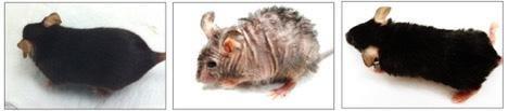 souris-peau-ridée-et-perte de poils