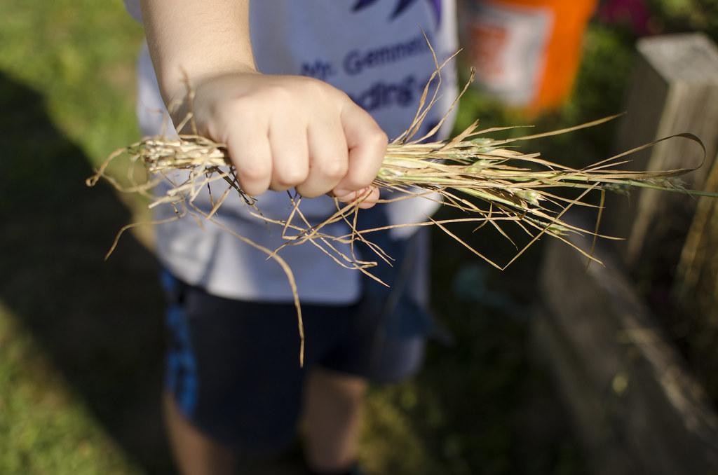 wheat 5
