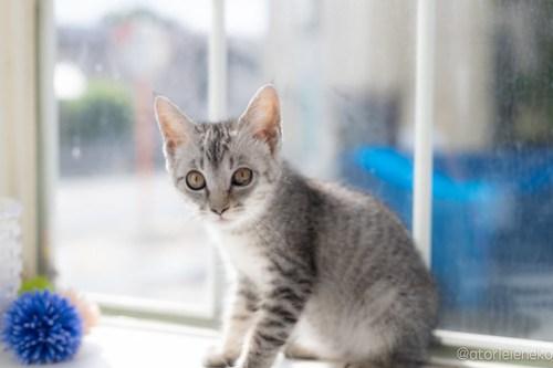 アトリエイエネコ Cat Photographer 29405806288_196813a3a6 1日1猫!高槻ねこのおうち 里親様募集中のガラシャちゃん♪ 1日1猫!  高槻ねこのおうち 里親様募集中 猫写真 猫カフェ 猫 子猫 大阪 初心者 写真 保護猫 スマホ キジ猫 カメラ Kitten Cute cat