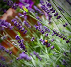 Lavender and ladybirds