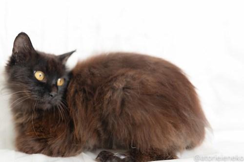 アトリエイエネコ Cat Photographer 42539913125_5fd25fc915 1日1猫!おおさかねこ倶楽部 フクお嫁に行きます♪ 1日1猫!  黒猫 里親様募集中 猫写真 猫カフェ 猫 子猫 大阪 写真 保護猫 スマホ カメラ おおさかねこ倶楽部 Kitten Cute cat