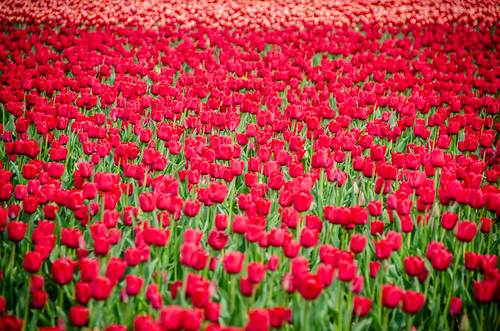 Skagit Valley Tulips-82