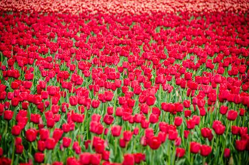 Skagit Valley Tulips-82
