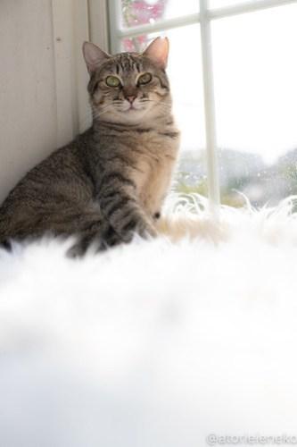 アトリエイエネコ Cat Photographer 43260346484_2bfc4d1b6d 1日1猫!高槻ねこのおうち 里活中のてらちゃん♪ 1日1猫!  高槻ねこのおうち 里親様募集中 猫写真 猫カフェ 猫 子猫 大阪 初心者 写真 保護猫 キジ猫 カメラ Kitten Cute cat