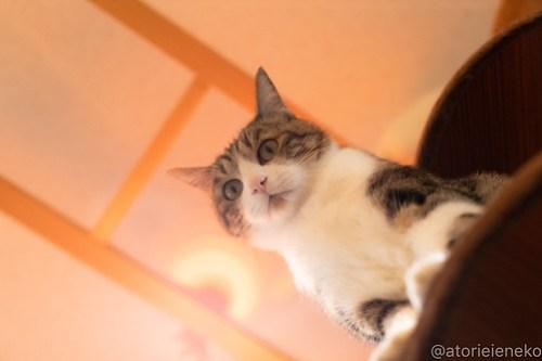 アトリエイエネコ Cat Photographer 40719874045_e548391f21 1日1猫!小さな猫カフェ「ペルちゃん」に行ってきた その1♪ 1日1猫!  里親様募集中 猫写真 猫カフェ 猫 守口市 子猫 大阪 写真 保護猫カフェ 保護猫 ペルちゃん スマホ カメラ Kitten Cute cat