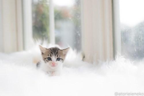 アトリエイエネコ Cat Photographer 43260383064_56c67731a0 1日1猫!高槻ねこのおうち 里活中のルナちゃん♪ 1日1猫!  高槻ねこのおうち 里親様募集中 里親募集 猫写真 猫カフェ 猫 子猫 大阪 初心者 写真 保護猫 スマホ カメラ Kitten Cute cat