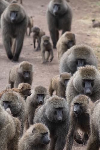 Baboons overtake the road