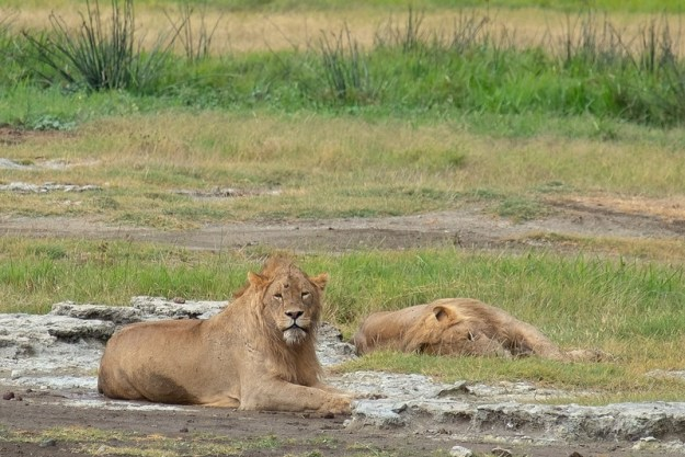 Lions chilling out