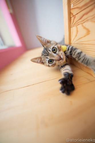 アトリエイエネコ Cat Photographer 42043298990_00647aa03a 1日1猫!おおさかねこ俱楽部 里活中のさだおくんです♪ 1日1猫!  里親様募集中 猫写真 猫カフェ 猫 子猫 大阪 初心者 写真 保護猫カフェ 保護猫 ニャンとぴあ スマホ キジ猫 カメラ おおさかねこ倶楽部 Kitten Cute cat