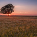 Lone Tree Sunset 2