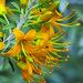 California Cleome (Peritoma arborea)