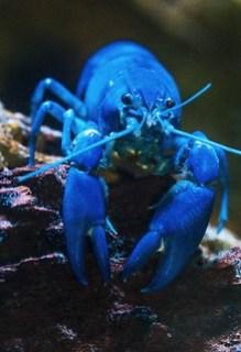 Blue Lobster Photo by David Clode on Unsplash