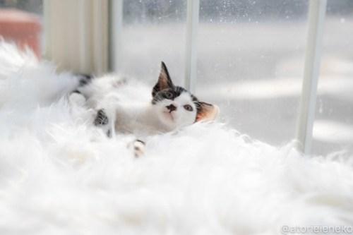 アトリエイエネコ Cat Photographer 43073456075_efc878991e 1日1猫!高槻ねこのおうち 里活中のザラメちゃん♪ 1日1猫!  高槻ねこのおうち 里親様募集中 猫写真 猫カフェ 猫 子猫 大阪 初心者 写真 保護猫カフェ 保護猫 ハチワレ スマホ Kitten Cute cat