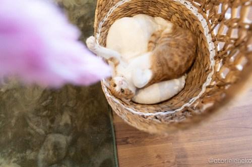 アトリエイエネコ Cat Photographer 40230484780_c82111feae 1日1猫!保護猫カフェ 森のねこ舎 (や)に行ってきた♪その1 1日1猫!  里親様募集中 猫写真 猫カフェ 猫 子猫 大阪 写真 保護猫カフェ 保護猫 スマホ カメラ Kitten Cute cat