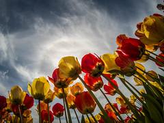 Skagit Valley Tulips-21