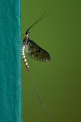 Eintagsfliege - Mayfly