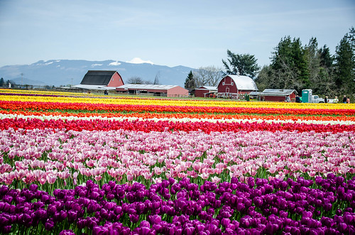 Skagit Valley Tulips-52