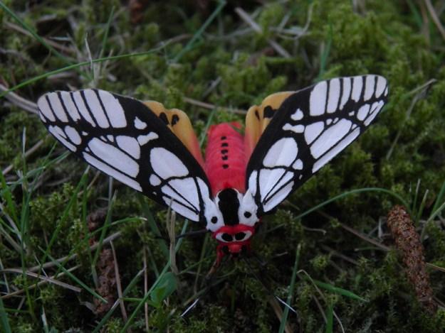 27092019097_dd0893cb01_c The Surprising Beauty of Gentle Giant Moths Random