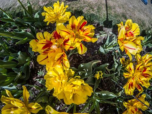 Skagit Valley Tulips-201