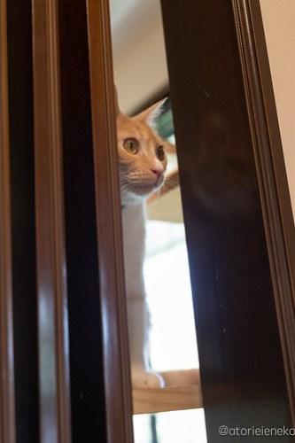 アトリエイエネコ Cat Photographer 40092286130_4ac55b7a6d 1日1猫!CaraCatCafe 6/9スマホ写真教室開催!久しぶりのつるるちゃん&ゲスト猫さん♪ 1日1猫!  里親様募集中 箕面 猫写真 猫カフェ 猫 子猫 大阪 写真 保護猫カフェ 保護猫 スマホ カメラ Kitten Cute cat caracatcafe