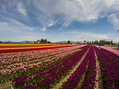 Skagit Valley Tulips-15