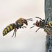 Hornissen  I  -  European hornets I