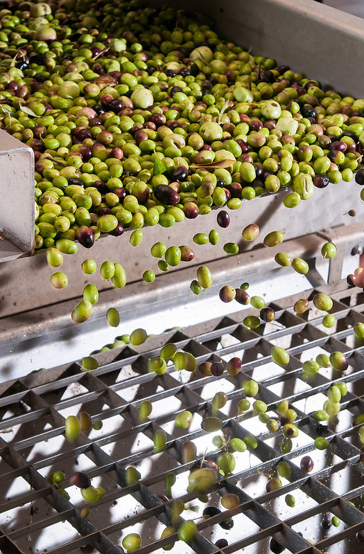 processing-olives-(hr)