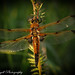 4 spotted chaser dragonfly