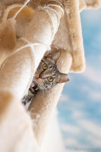 アトリエイエネコ Cat Photographer 41993988002_b7ed9e80d3 保護猫カフェ 森のねこ舎 (や)のブログ