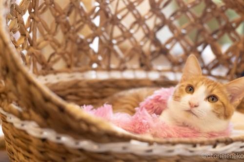 アトリエイエネコ Cat Photographer 27167973277_9b7f14e5ed 1日1猫!保護猫カフェ 森のねこ舎 (や)に行ってきた♪その1 1日1猫!  里親様募集中 猫写真 猫カフェ 猫 子猫 大阪 写真 保護猫カフェ 保護猫 スマホ カメラ Kitten Cute cat