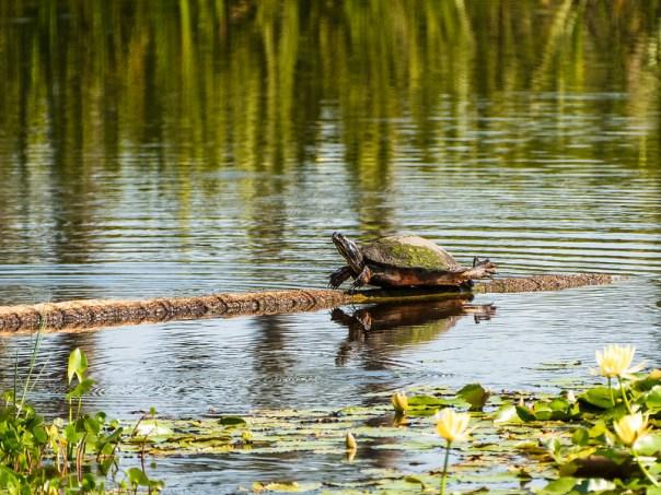 "Turtle ""planking"""