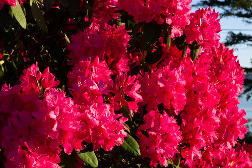 Samish Island Rhododendrons-005