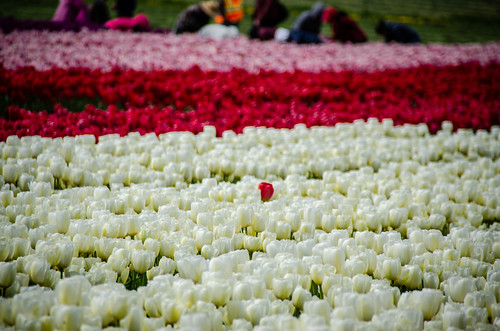 Skagit Valley Tulips-113