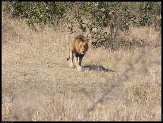 Lion at Matjula