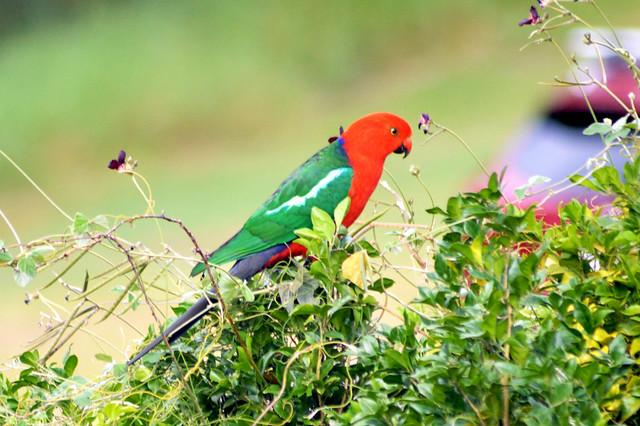 Australian King Parrot (Alisterus scapularis